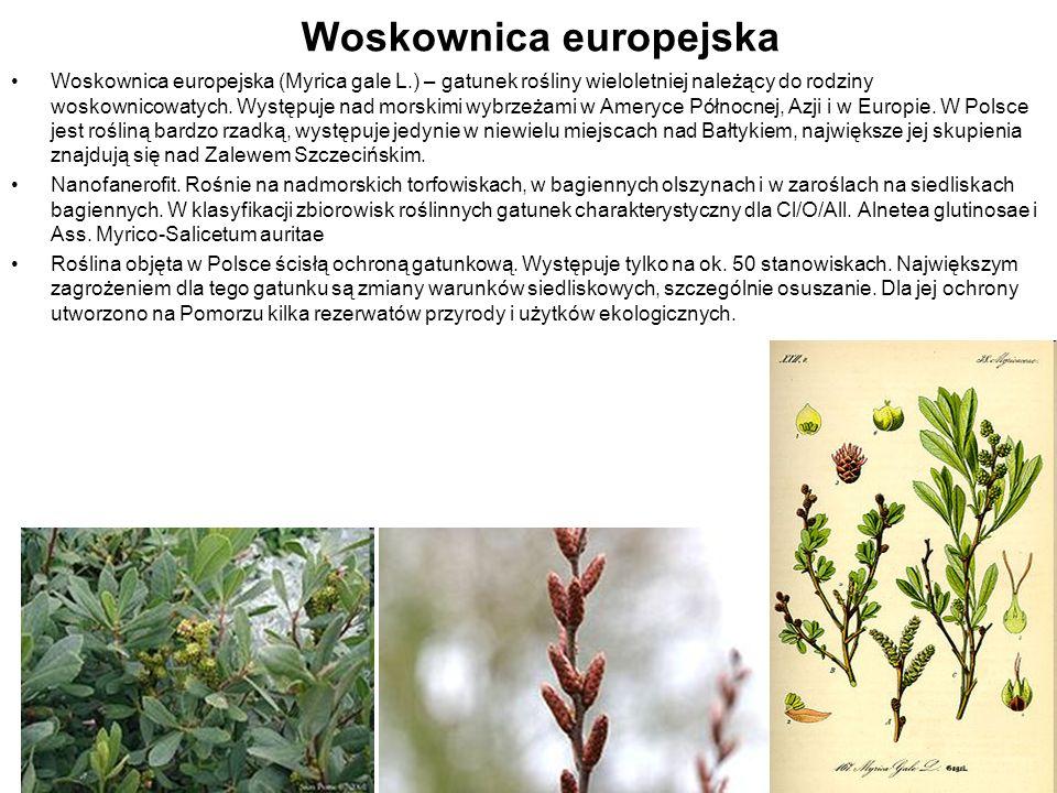 Woskownica europejska Woskownica europejska (Myrica gale L.) – gatunek rośliny wieloletniej należący do rodziny woskownicowatych. Występuje nad morski