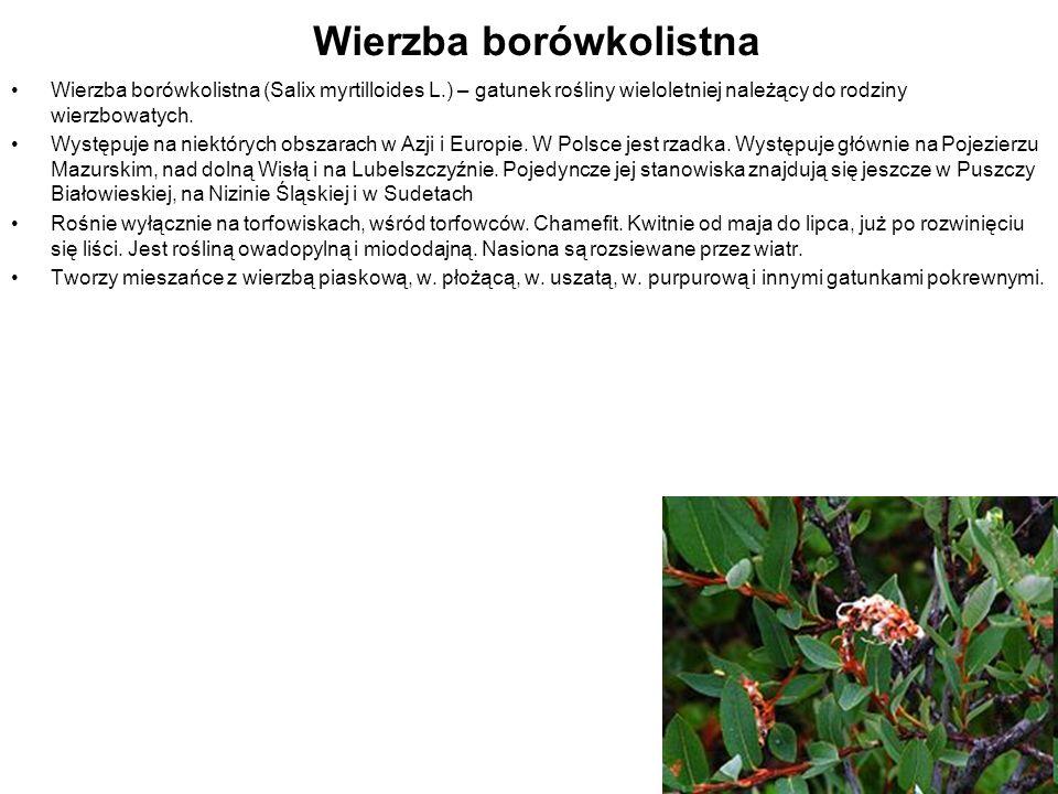 Wierzba borówkolistna Wierzba borówkolistna (Salix myrtilloides L.) – gatunek rośliny wieloletniej należący do rodziny wierzbowatych. Występuje na nie