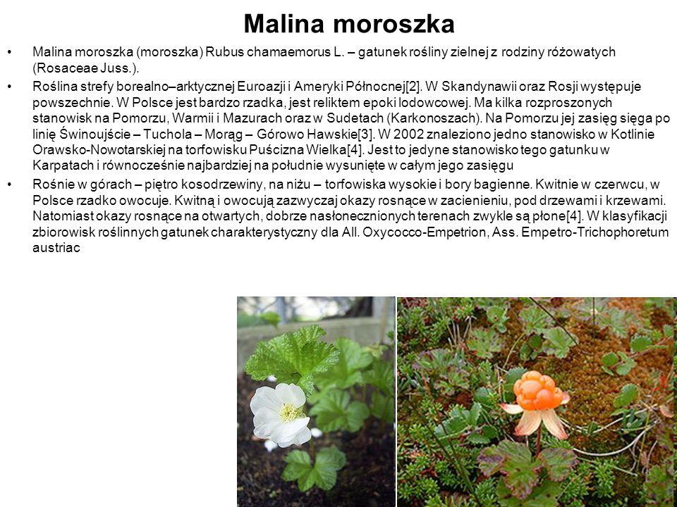 Malina moroszka Malina moroszka (moroszka) Rubus chamaemorus L. – gatunek rośliny zielnej z rodziny różowatych (Rosaceae Juss.). Roślina strefy boreal