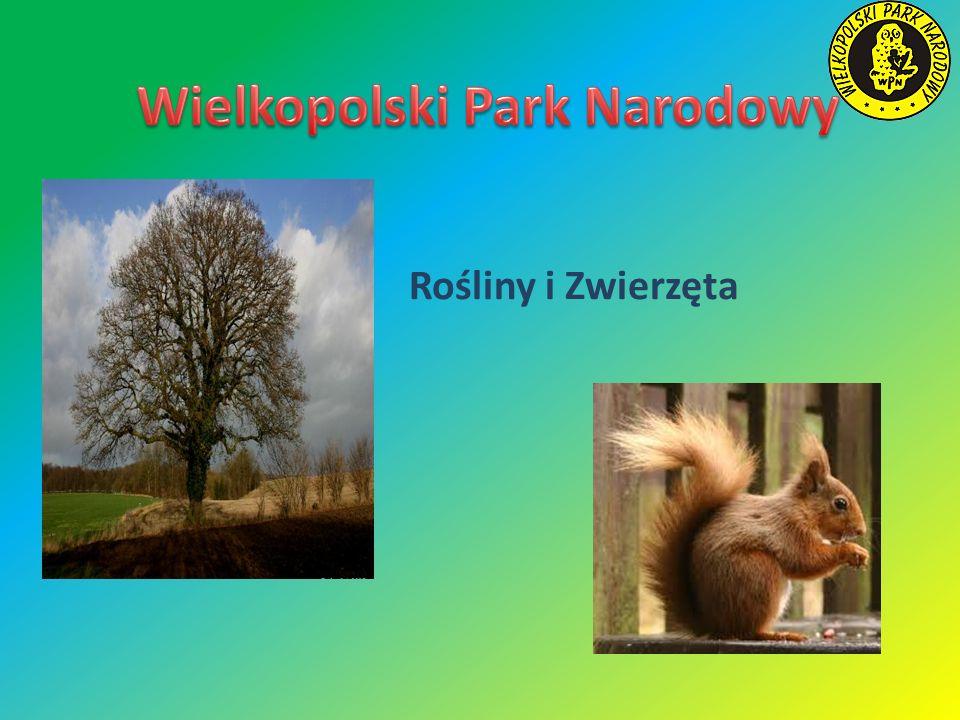 Zwierzęta Wielkopolskiego Parku Narodowego Zwierząt w Parku Narodowym jest bardzo wiele.