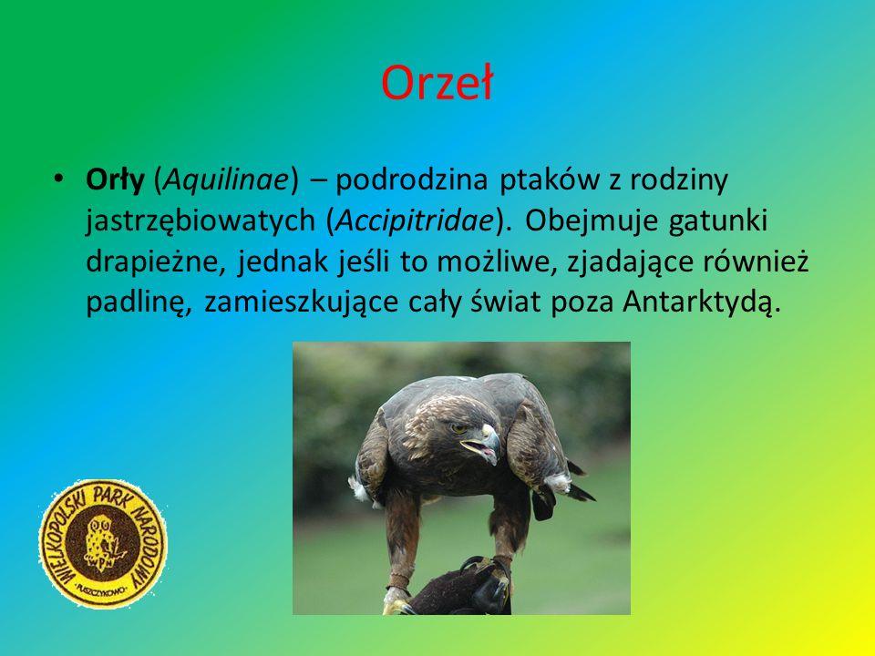 Orzeł Orły (Aquilinae) – podrodzina ptaków z rodziny jastrzębiowatych (Accipitridae). Obejmuje gatunki drapieżne, jednak jeśli to możliwe, zjadające r