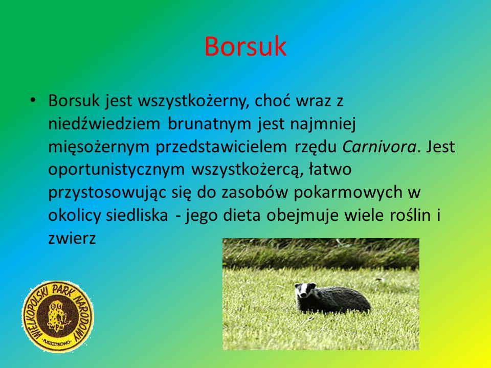 Borsuk Borsuk jest wszystkożerny, choć wraz z niedźwiedziem brunatnym jest najmniej mięsożernym przedstawicielem rzędu Carnivora. Jest oportunistyczny