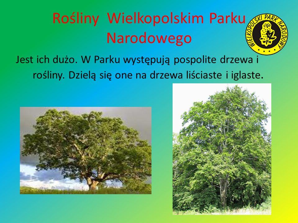 Rośliny Wielkopolskim Parku Narodowego Jest ich dużo. W Parku występują pospolite drzewa i rośliny. Dzielą się one na drzewa liściaste i iglaste.