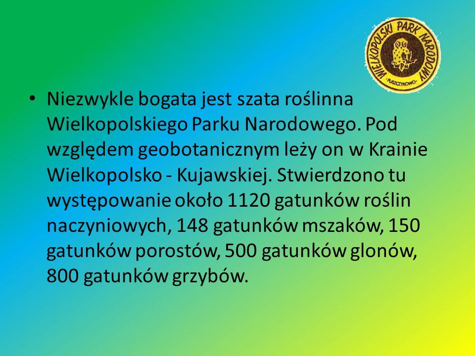 Niezwykle bogata jest szata roślinna Wielkopolskiego Parku Narodowego. Pod względem geobotanicznym leży on w Krainie Wielkopolsko - Kujawskiej. Stwier