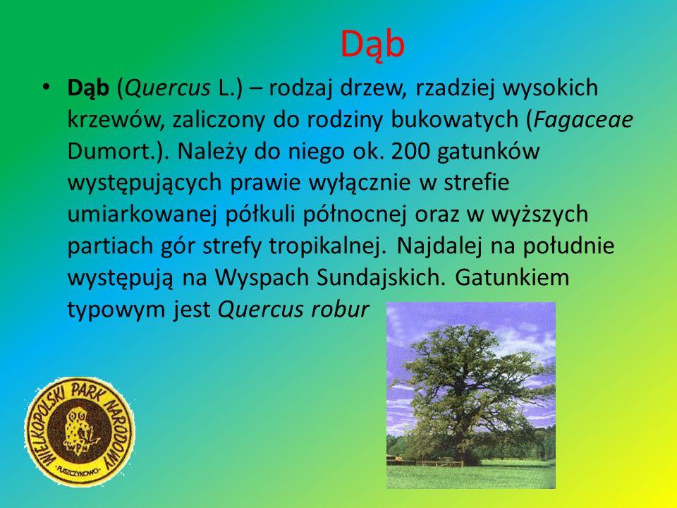 Dąb Dąb (Quercus L.) – rodzaj drzew, rzadziej wysokich krzewów, zaliczony do rodziny bukowatych (Fagaceae Dumort.). Należy do niego ok. 200 gatunków w