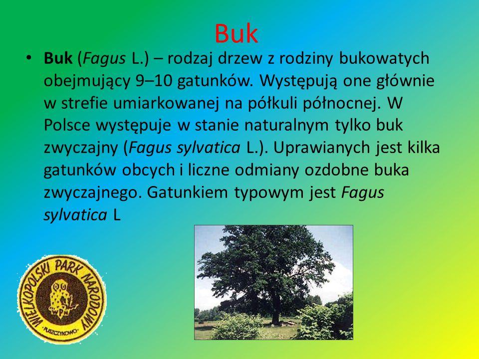 Buk Buk (Fagus L.) – rodzaj drzew z rodziny bukowatych obejmujący 9–10 gatunków. Występują one głównie w strefie umiarkowanej na półkuli północnej. W