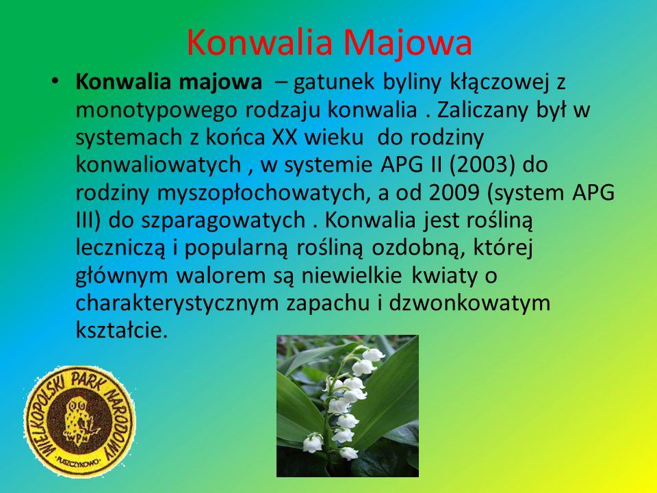 Konwalia Majowa Konwalia majowa – gatunek byliny kłączowej z monotypowego rodzaju konwalia. Zaliczany był w systemach z końca XX wieku do rodziny konw