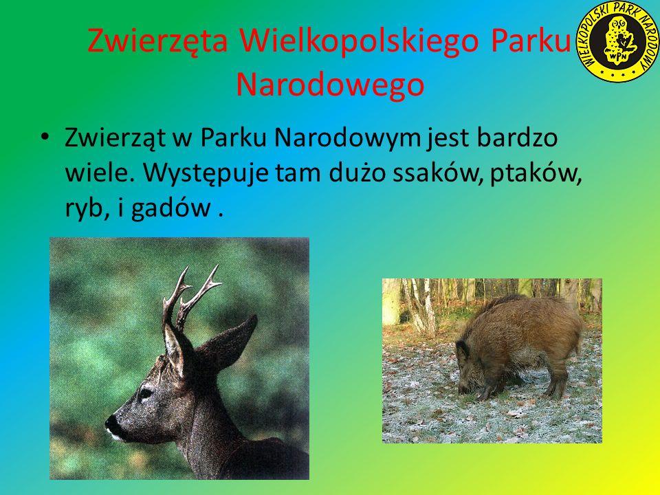 Zwierzęta Wielkopolskiego Parku Narodowego Zwierząt w Parku Narodowym jest bardzo wiele. Występuje tam dużo ssaków, ptaków, ryb, i gadów.