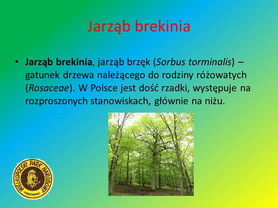 Jarząb brekinia Jarząb brekinia, jarząb brzęk (Sorbus torminalis) – gatunek drzewa należącego do rodziny różowatych (Rosaceae). W Polsce jest dość rza