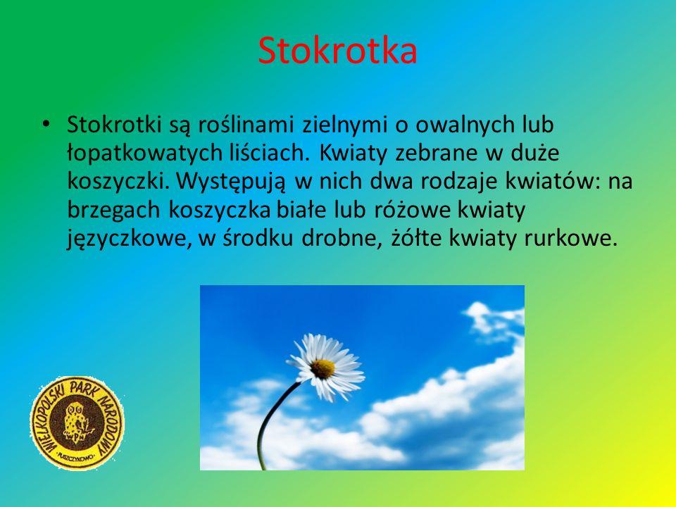 Stokrotka Stokrotki są roślinami zielnymi o owalnych lub łopatkowatych liściach. Kwiaty zebrane w duże koszyczki. Występują w nich dwa rodzaje kwiatów
