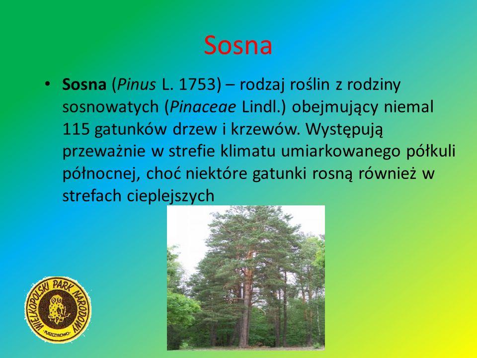 Sosna Sosna (Pinus L. 1753) – rodzaj roślin z rodziny sosnowatych (Pinaceae Lindl.) obejmujący niemal 115 gatunków drzew i krzewów. Występują przeważn