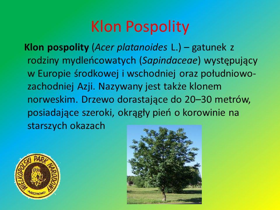 Klon Pospolity Klon pospolity (Acer platanoides L.) – gatunek z rodziny mydleńcowatych (Sapindaceae) występujący w Europie środkowej i wschodniej oraz