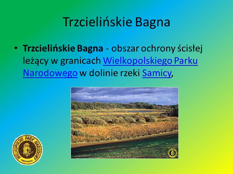Trzcielińskie Bagna Trzcielińskie Bagna - obszar ochrony ścisłej leżący w granicach Wielkopolskiego Parku Narodowego w dolinie rzeki Samicy,Wielkopols