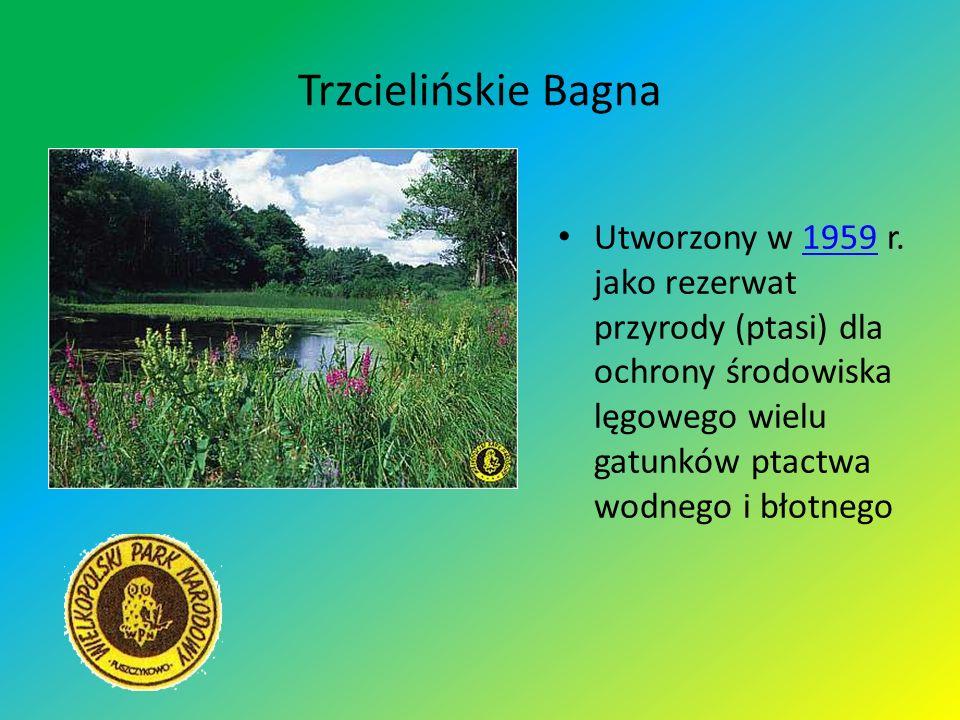 Trzcielińskie Bagna Utworzony w 1959 r. jako rezerwat przyrody (ptasi) dla ochrony środowiska lęgowego wielu gatunków ptactwa wodnego i błotnego1959