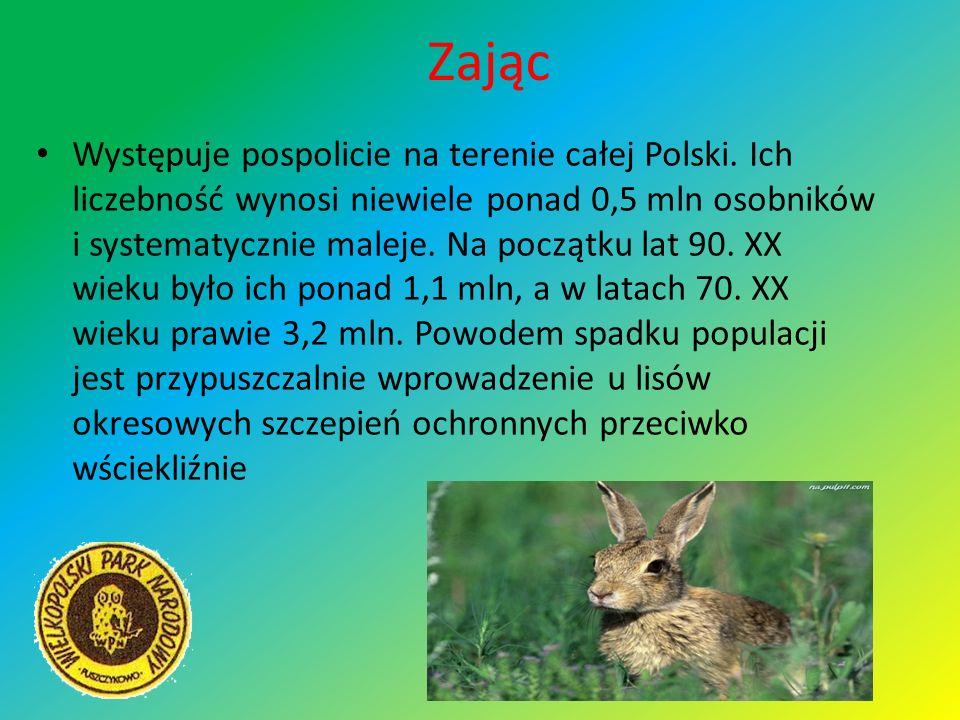 Zając Występuje pospolicie na terenie całej Polski. Ich liczebność wynosi niewiele ponad 0,5 mln osobników i systematycznie maleje. Na początku lat 90