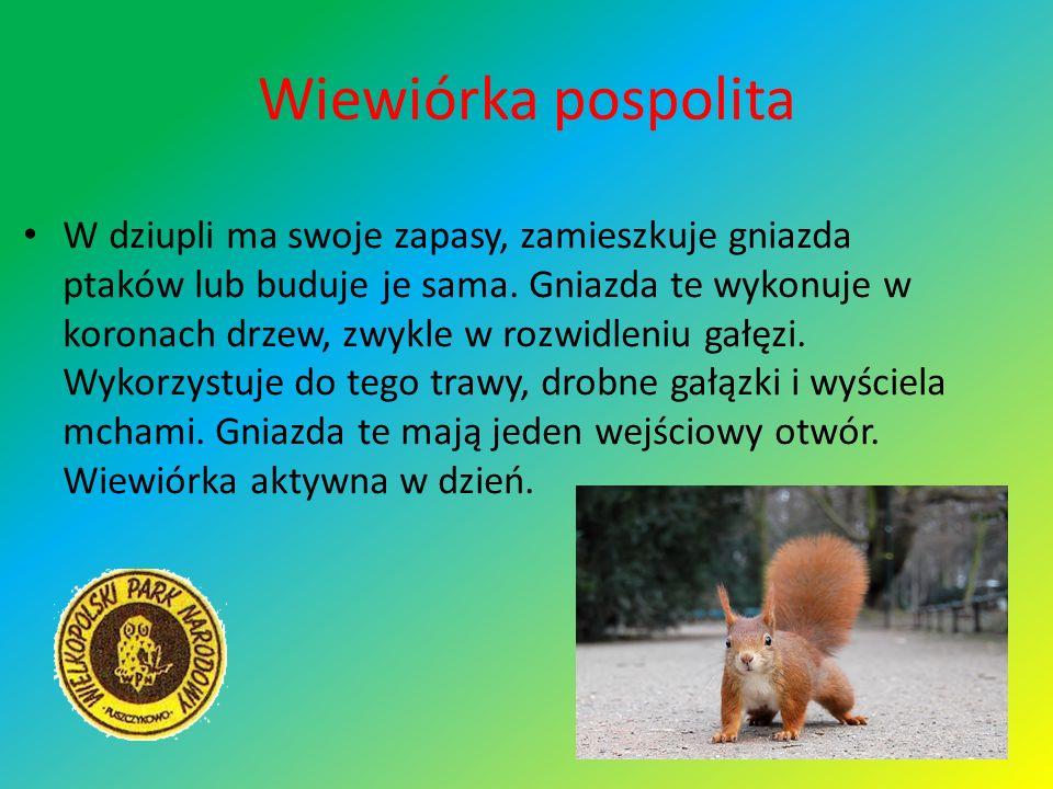 Wiewiórka pospolita W dziupli ma swoje zapasy, zamieszkuje gniazda ptaków lub buduje je sama. Gniazda te wykonuje w koronach drzew, zwykle w rozwidlen