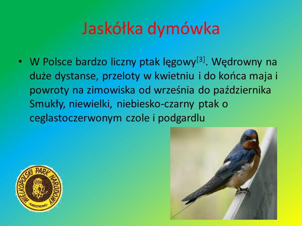 Jaskółka dymówka W Polsce bardzo liczny ptak lęgowy [3]. Wędrowny na duże dystanse, przeloty w kwietniu i do końca maja i powroty na zimowiska od wrze