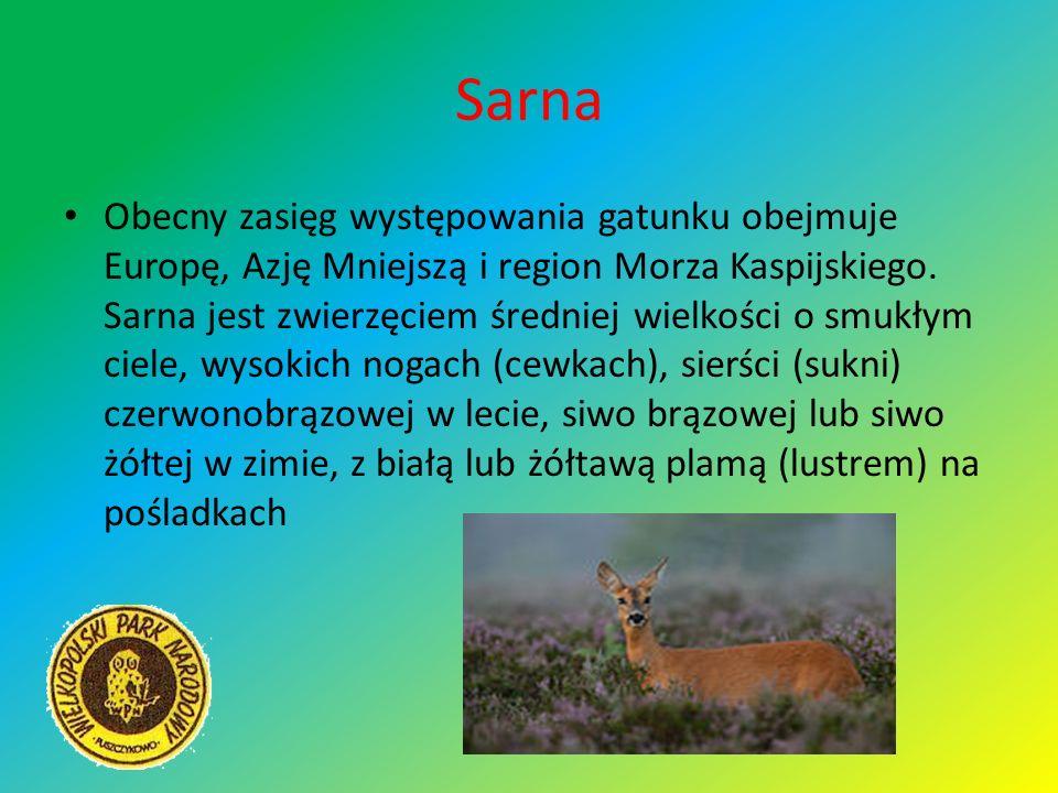 Sarna Obecny zasięg występowania gatunku obejmuje Europę, Azję Mniejszą i region Morza Kaspijskiego. Sarna jest zwierzęciem średniej wielkości o smukł