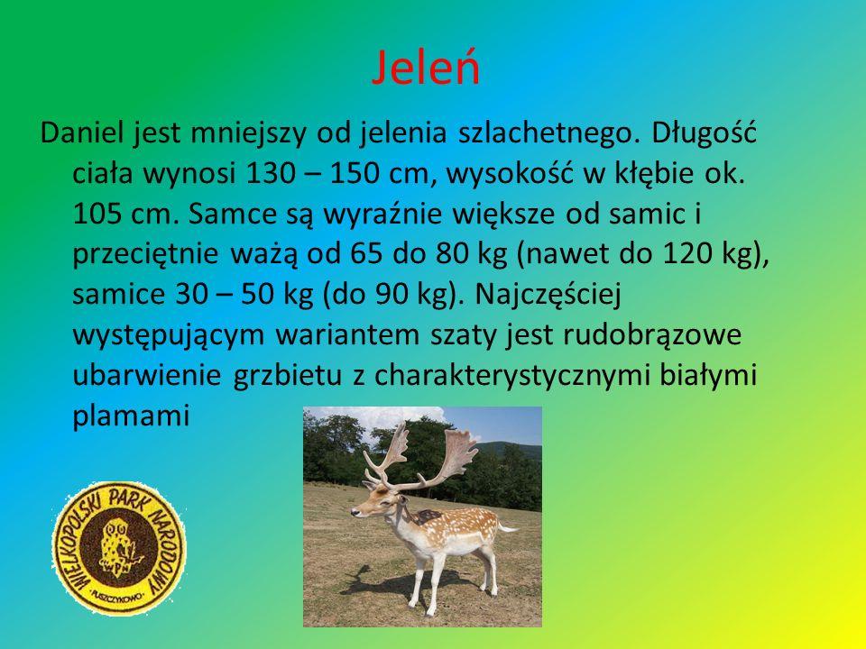 Jeleń Daniel jest mniejszy od jelenia szlachetnego. Długość ciała wynosi 130 – 150 cm, wysokość w kłębie ok. 105 cm. Samce są wyraźnie większe od sami