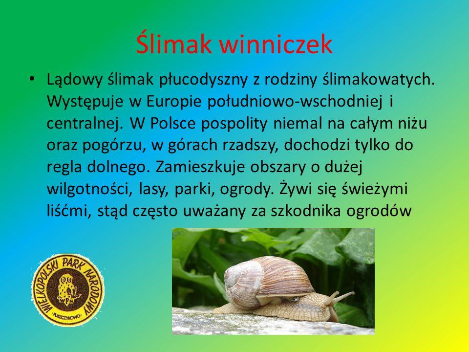 Ślimak winniczek Lądowy ślimak płucodyszny z rodziny ślimakowatych. Występuje w Europie południowo-wschodniej i centralnej. W Polsce pospolity niemal