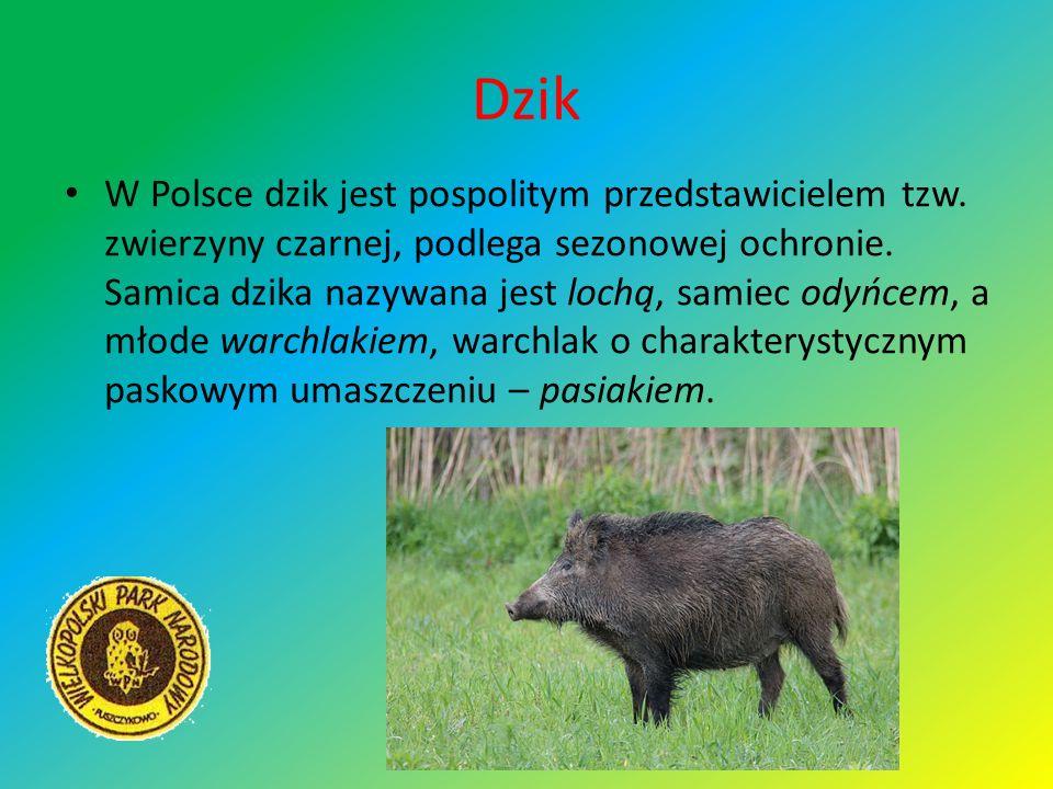Dzik W Polsce dzik jest pospolitym przedstawicielem tzw. zwierzyny czarnej, podlega sezonowej ochronie. Samica dzika nazywana jest lochą, samiec odyńc