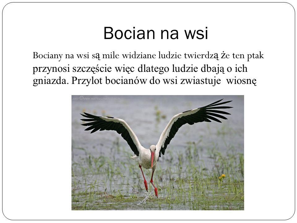Bocian na wsi Bociany na wsi s ą mile widziane ludzie twierdz ą ż e ten ptak przynosi szczęście więc dlatego ludzie dbają o ich gniazda. Przylot bocia