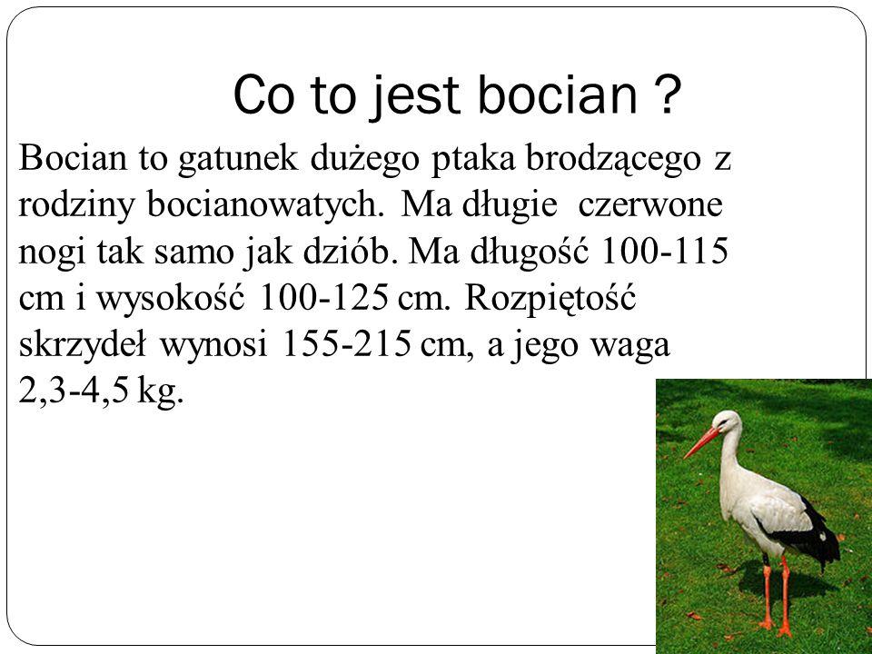 Co to jest bocian ? Bocian to gatunek dużego ptaka brodzącego z rodziny bocianowatych. Ma długie czerwone nogi tak samo jak dziób. Ma długość 100-115