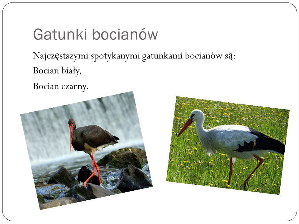 Gatunki bocianów Najcz ę stszymi spotykanymi gatunkami bocianów s ą : Bocian biały, Bocian czarny.