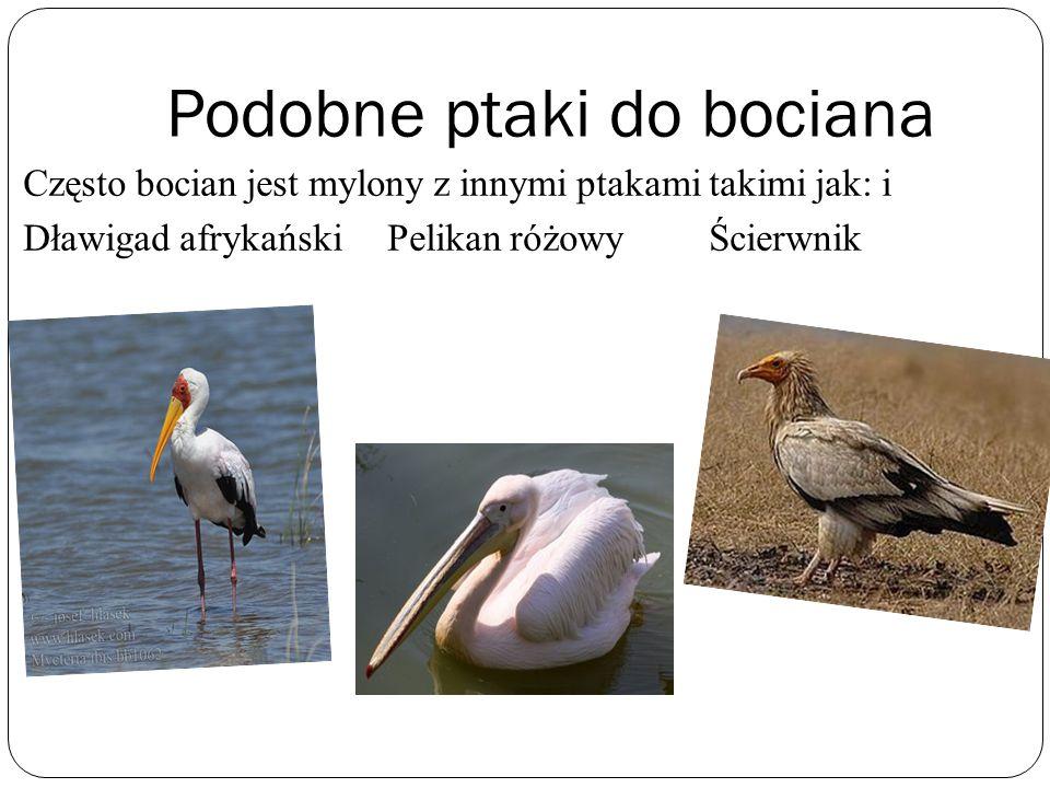 Podobne ptaki do bociana Często bocian jest mylony z innymi ptakami takimi jak: i Dławigad afrykański Pelikan różowy Ścierwnik