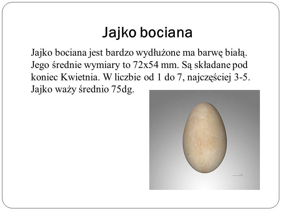 Jajko bociana Jajko bociana jest bardzo wydłużone ma barwę białą. Jego średnie wymiary to 72x54 mm. Są składane pod koniec Kwietnia. W liczbie od 1 do