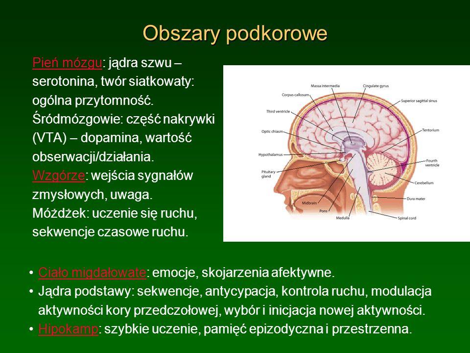 Obszary podkorowe Pień mózguPień mózgu: jądra szwu – serotonina, twór siatkowaty: ogólna przytomność. Śródmózgowie: część nakrywki (VTA) – dopamina, w