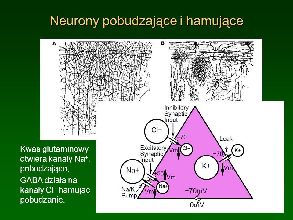 Neurony pobudzające i hamujące Kwas glutaminowy otwiera kanały Na +, pobudzająco, GABA działa na kanały Cl - hamując pobudzanie.