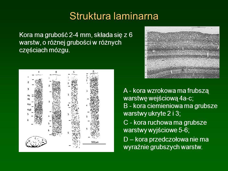 Struktura laminarna Kora ma grubość 2-4 mm, składa się z 6 warstw, o różnej grubości w różnych częściach mózgu. A - kora wzrokowa ma frubszą warstwę w
