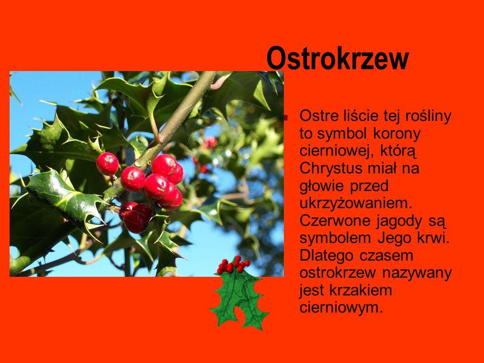 Ostrokrzew Ostre liście tej rośliny to symbol korony cierniowej, którą Chrystus miał na głowie przed ukrzyżowaniem. Czerwone jagody są symbolem Jego k