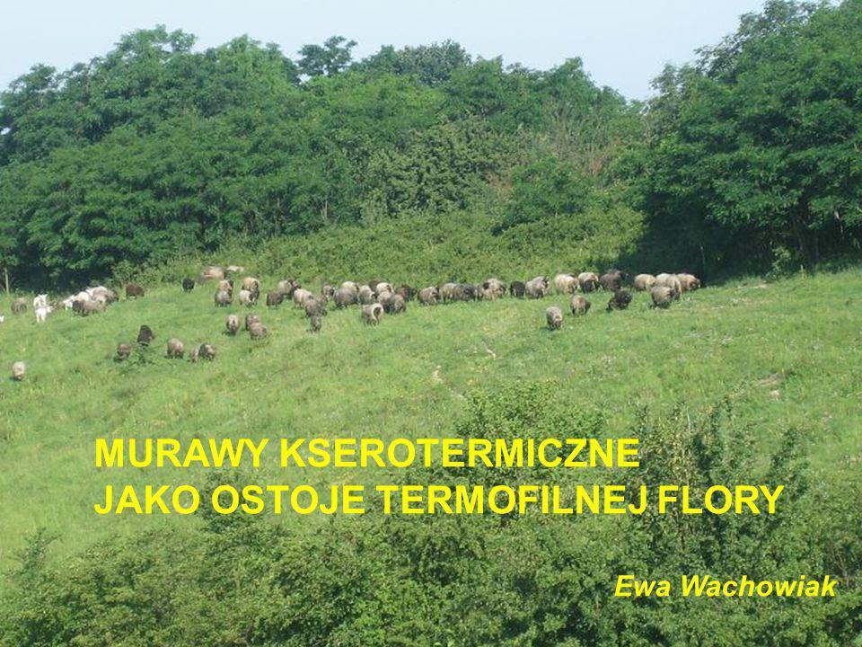Rozmieszczenie kwiecistych muraw w Polsce Pieniny, Niecka Nidziańska, Wyżyna Krakowska, Wyżyna Częstochowska, Wyżyna Lubelska, Rejon Kazimierza nad Wisłą i zbocza w dolinie Wisły koło Sandomierza, Wyżyna Śląska, zbiorowisko rozpowszechnione jest w całym pasie wyżynnym i w pasie pogórzy.