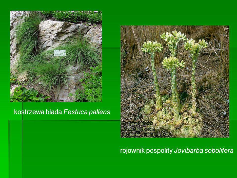 kostrzewa blada Festuca pallens rojownik pospolity Jovibarba sobolifera