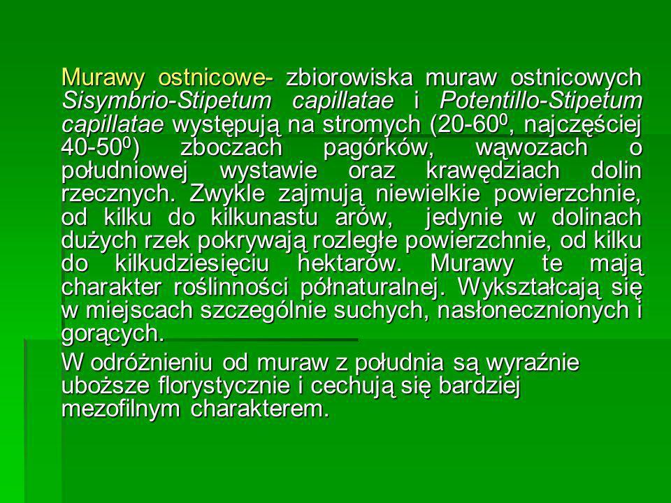 Murawy ostnicowe- zbiorowiska muraw ostnicowych Sisymbrio-Stipetum capillatae i Potentillo-Stipetum capillatae występują na stromych (20-60 0, najczęś