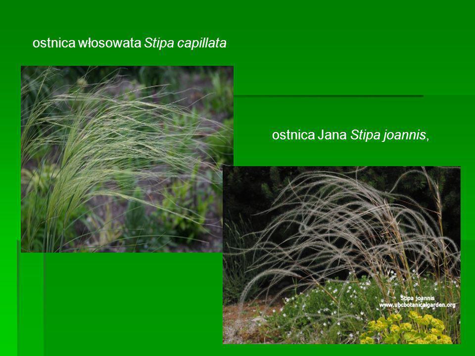 ostnica włosowata Stipa capillata ostnica Jana Stipa joannis,