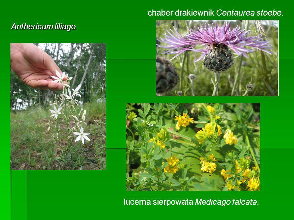 Anthericum liliago chaber drakiewnik Centaurea stoebe. lucerna sierpowata Medicago falcata,
