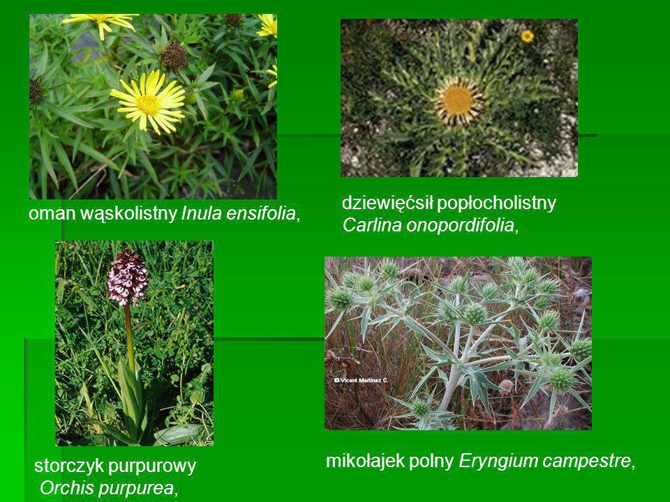 oman wąskolistny Inula ensifolia, dziewięćsił popłocholistny Carlina onopordifolia, storczyk purpurowy Orchis purpurea, mikołajek polny Eryngium campe
