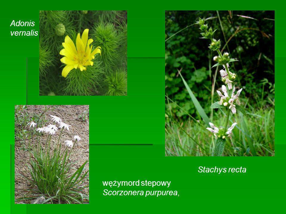 Adonis vernalis wężymord stepowy Scorzonera purpurea, Stachys recta