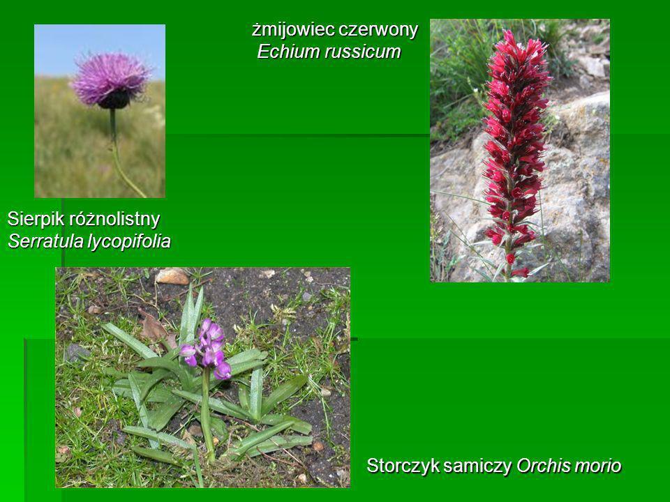 Sierpik różnolistny Serratula lycopifolia żmijowiec czerwony Echium russicum Echium russicum Storczyk samiczy Orchis morio