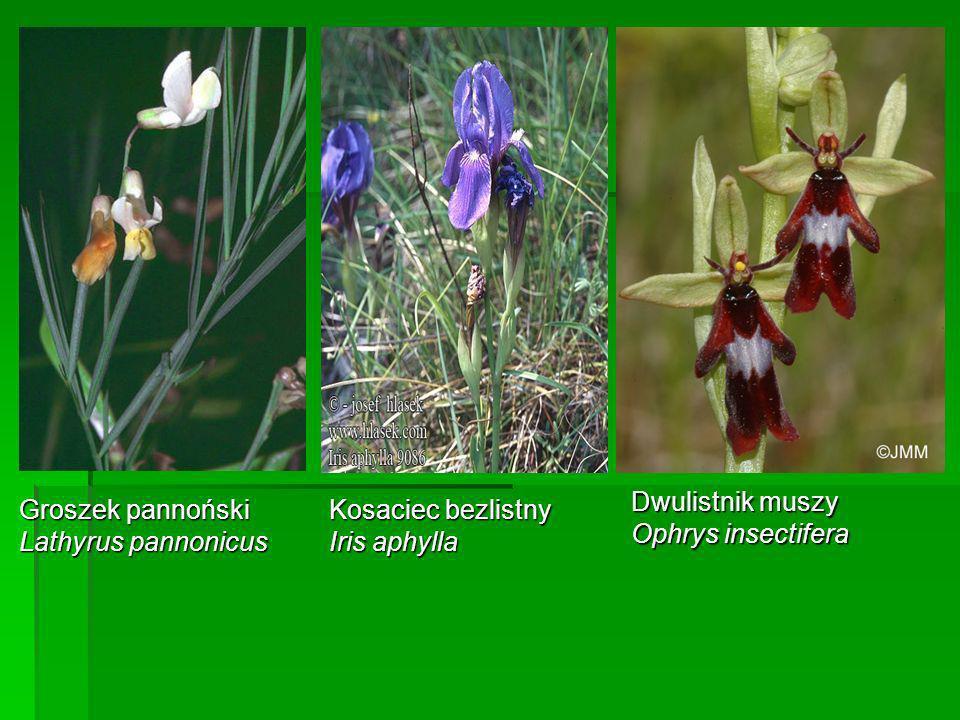 Groszek pannoński Lathyrus pannonicus Kosaciec bezlistny Iris aphylla Dwulistnik muszy Ophrys insectifera