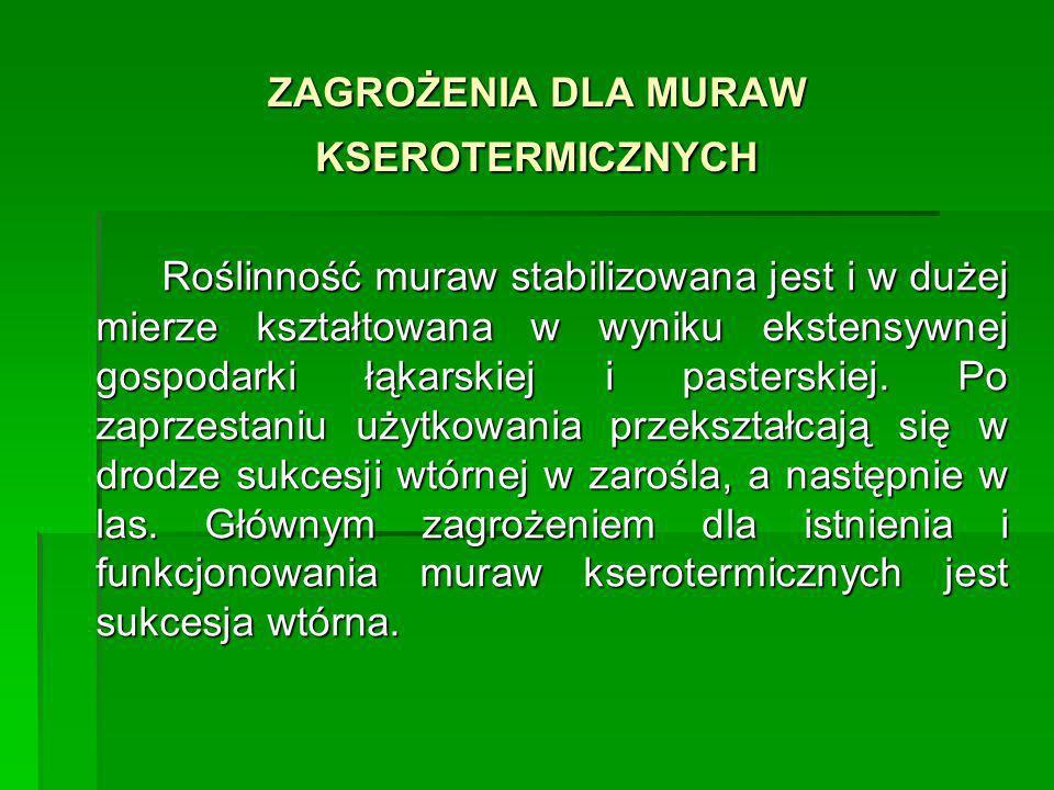 ZAGROŻENIA DLA MURAW KSEROTERMICZNYCH Roślinność muraw stabilizowana jest i w dużej mierze kształtowana w wyniku ekstensywnej gospodarki łąkarskiej i