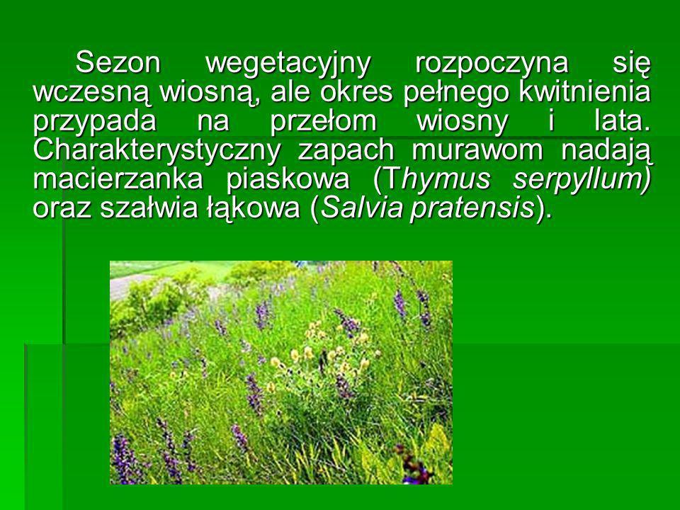 Sezon wegetacyjny rozpoczyna się wczesną wiosną, ale okres pełnego kwitnienia przypada na przełom wiosny i lata. Charakterystyczny zapach murawom nada