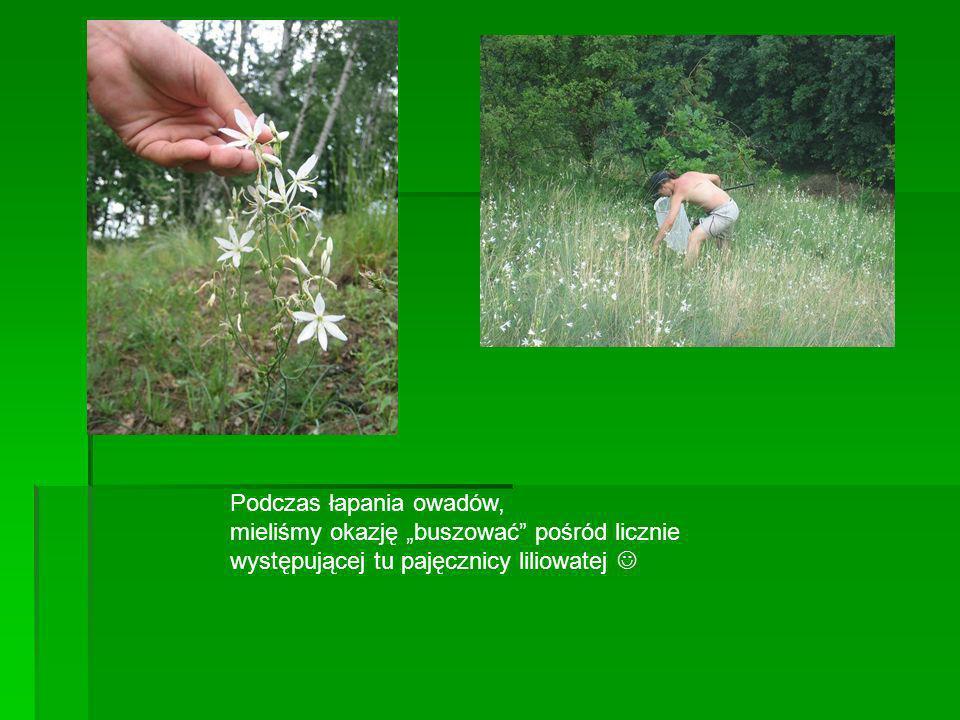 Podczas łapania owadów, mieliśmy okazję buszować pośród licznie występującej tu pajęcznicy liliowatej