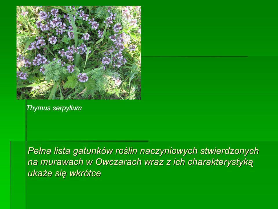 Pełna lista gatunków roślin naczyniowych stwierdzonych na murawach w Owczarach wraz z ich charakterystyką ukaże się wkrótce Thymus serpyllum