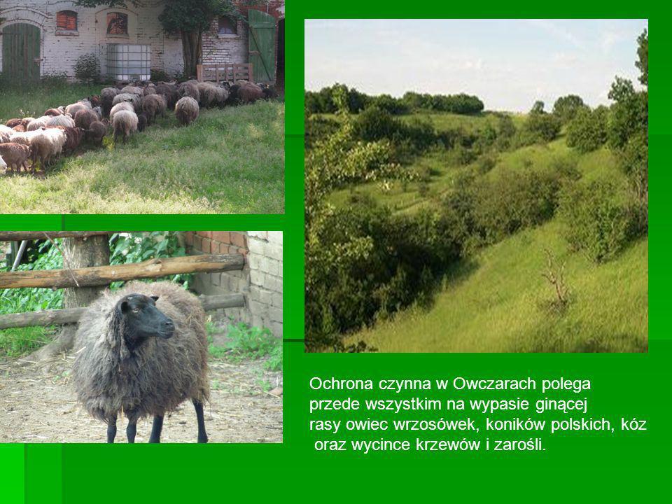Ochrona czynna w Owczarach polega przede wszystkim na wypasie ginącej rasy owiec wrzosówek, koników polskich, kóz oraz wycince krzewów i zarośli.