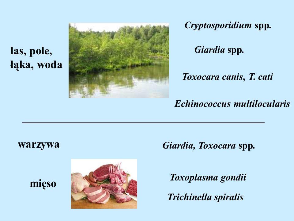 Toxocara canis, T. cati Echinococcus multilocularis las, pole, łąka, woda mięso Toxoplasma gondii Trichinella spiralis Cryptosporidium spp. Giardia sp