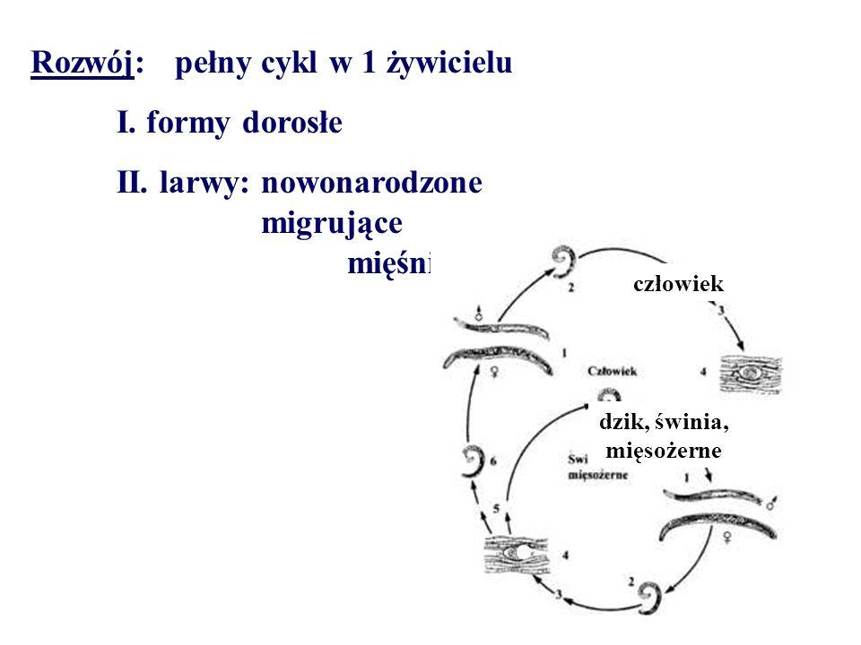 Rozwój: pełny cykl w 1 żywicielu I. formy dorosłe II. larwy: nowonarodzone migrujące mięśniowe człowiek dzik, świnia, mięsożerne